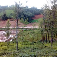 Ailing Nilgiris Small Tea Growers